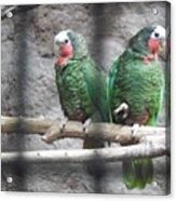 Love Parrots Acrylic Print