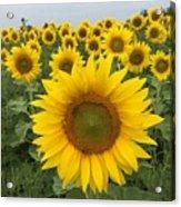 Love Sunflowers Acrylic Print