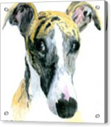 Love That Whippet Acrylic Print