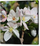 Lovely Apple Blossoms Acrylic Print