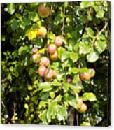 Lovely Apples On The Tree Acrylic Print