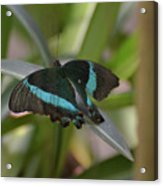 Lovely Blue And Black Emerald Swallowtail Buterfly Acrylic Print