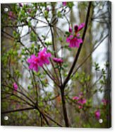 Lovely Bright Pink Flowers Acrylic Print by Eva Thomas