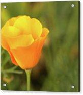 Lovely Buttercup Flower. Acrylic Print