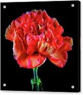 Lovely Carnation 12718-1 Acrylic Print