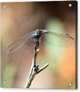 Lovely Dragonfly Acrylic Print