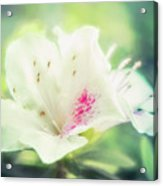 Lovely In White Acrylic Print
