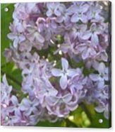 Lovely Lilacs Acrylic Print by Anna Villarreal Garbis