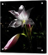 Lovely Lilies Partners Acrylic Print