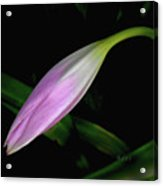 Lovely Lilies Sleeping Bloom Acrylic Print