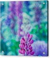 Lovely Lupine Acrylic Print