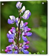 Lovely Lupine Acrylic Print
