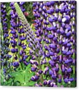 Lovely Lupines Acrylic Print