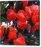 African Tulips Acrylic Print