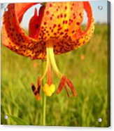 Lovely Orange Spotted Tiger Lily Acrylic Print