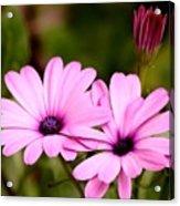 Lovely Pink Petals Acrylic Print