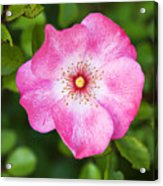 Lovely Pink Rose Acrylic Print