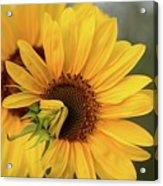 Lovely Sunflowers Acrylic Print