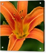 Lovers Lily Acrylic Print