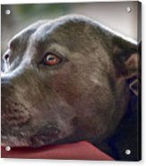 Loving Pitbull Eyes Acrylic Print