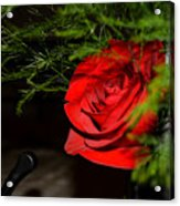 Lucius Red Rose Acrylic Print