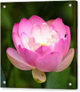 Luminous Lotus Blossom Acrylic Print