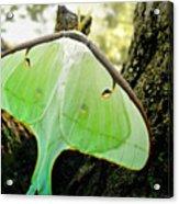 Luna Moth No. 3 Acrylic Print