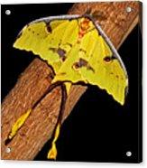 Luna Moth Acrylic Print