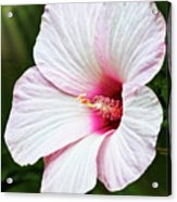 Luna Pink Swirl Hibiscus Photograph By Marcia Colelli