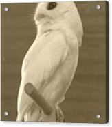 Luna The Rescued White Leucistic Eastern Screech Owl In Sepia Acrylic Print