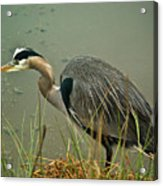 Lunch Time For The Heron Acrylic Print