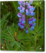 Lupin And Guest Acrylic Print