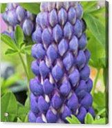 Lupin Persian Slipper Flower Acrylic Print