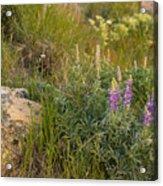 Lupine Among The Weeds  Acrylic Print
