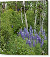 Lupine And Aspens Acrylic Print