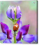 Lupine And Friends Acrylic Print