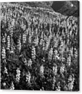 Lupine Hilltop Acrylic Print