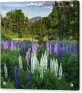Lupine In The Valley Acrylic Print