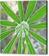 Lupine Leaf And Raindrop Acrylic Print