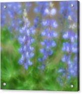 Lupine Soft Focus Acrylic Print