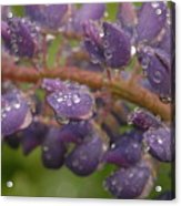 Lupine With Raindrops Acrylic Print
