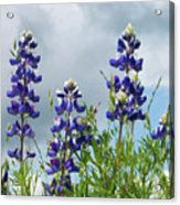 Lupines Against The Sky Acrylic Print