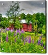 Lupines And The Red Barn Acrylic Print