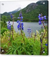 Lupines And Water Acrylic Print