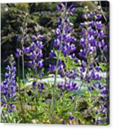 Lupines At The River Acrylic Print