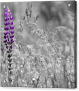 Lupins 2016 26a Acrylic Print