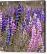 Lupins 2016 28a Acrylic Print