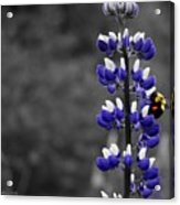 Lupins 2016 6a Acrylic Print