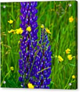Lupins And Buttercups Acrylic Print