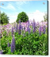 Lupins And Flocks Acrylic Print